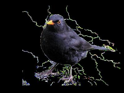 Brilliant Blackbirds