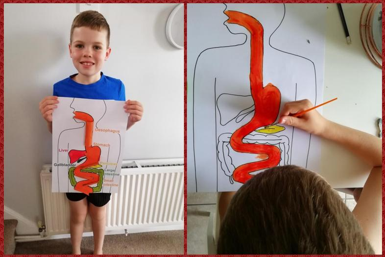 Finley's digestive system model (video above)