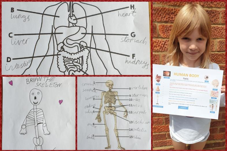 Sophie's excellent work and facts on human bodies