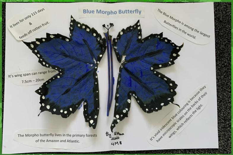Ethan's fab blue morpho leaf artwork and facts
