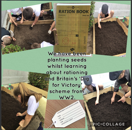 """Years 5 & 6 planting winter seeds as they learnt all about """"digging for victory"""" in WW2"""