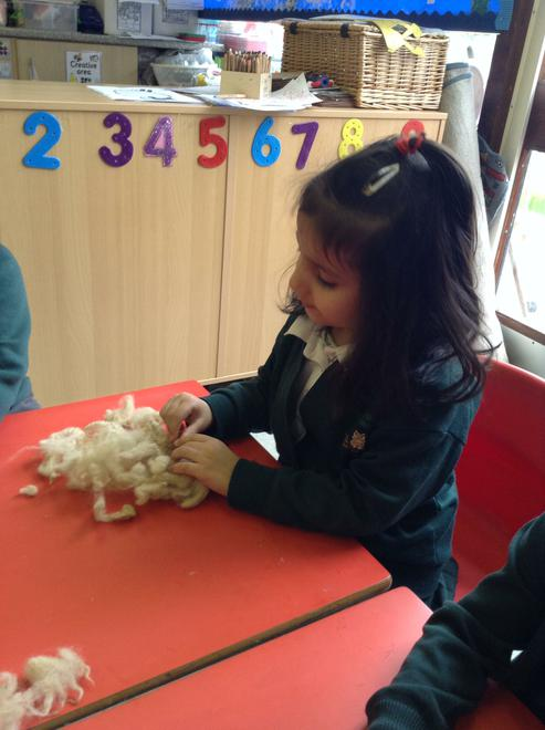 Being curious about the sheep's wool.