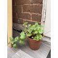 Myra's plant