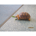 This is Sultana the 3 year old tortoise.