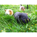 Isaac's new guinea pigs