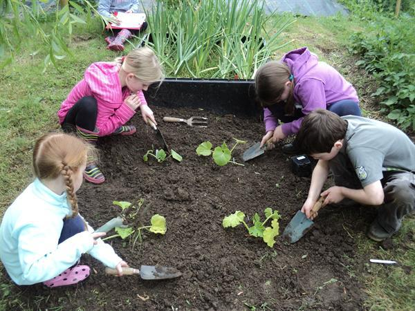 Planting courgettes.