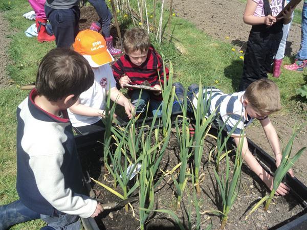 Weeding around the garlic plants