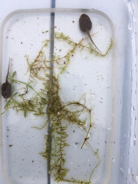 Two tadpoles close up. No legs yet.