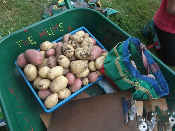 Harvesting lovely red and white potatoes.