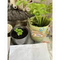 Riley the Celery is thriving!  And a new addition!