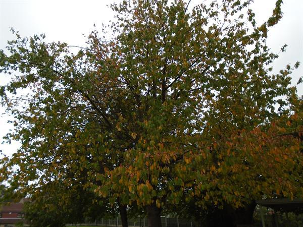 Looking at the Autumn leaves of our tree