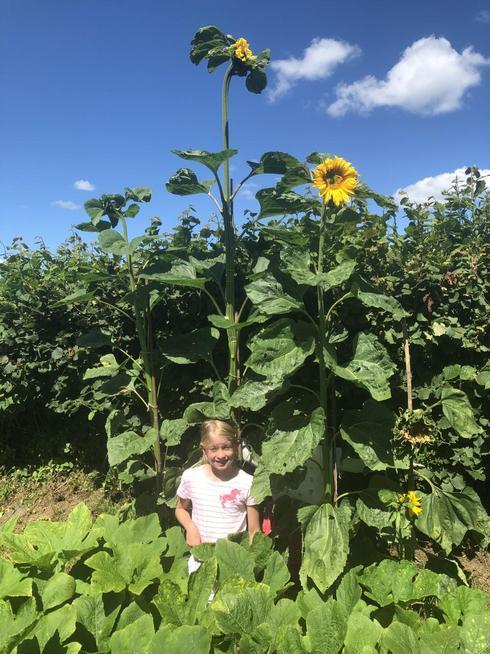 An incredible Sunflower