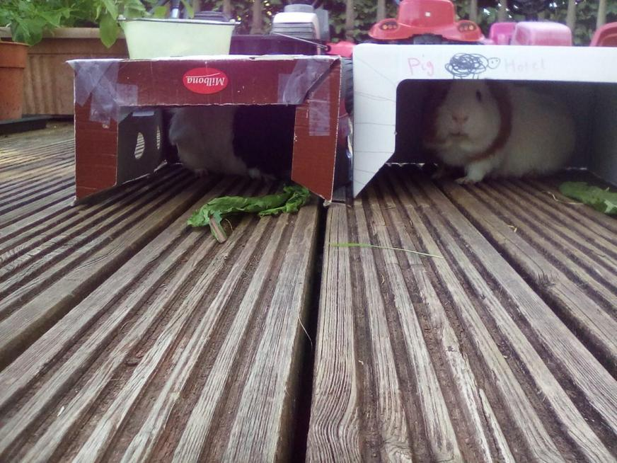 A new home for the guinea pigs