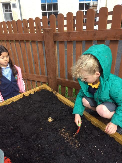 Planting vegetables- potatoes, carrots and beetroot.