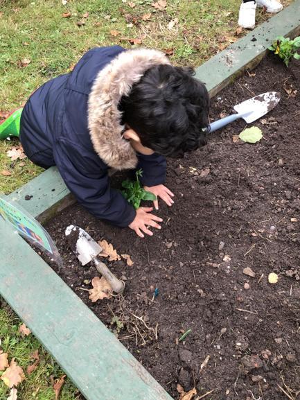 Planting Winter Pansies