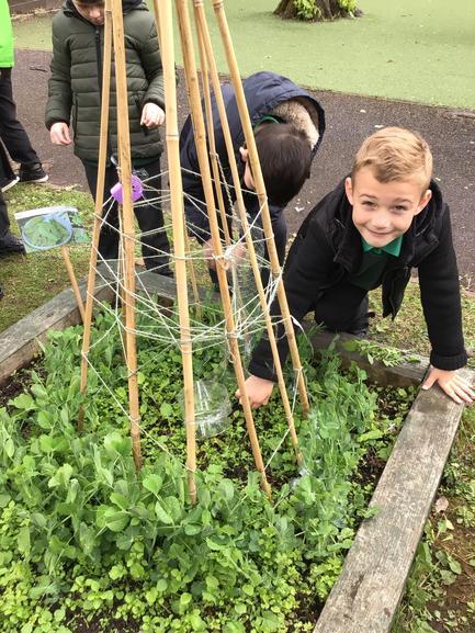 Weeding around the peas!