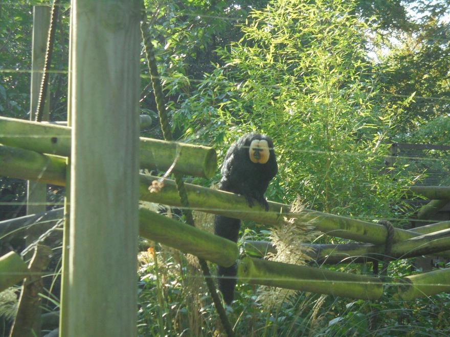 A Saki Monkey