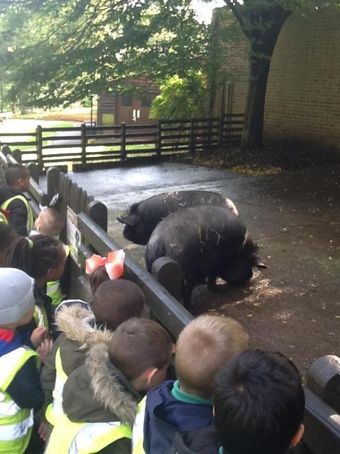 Meeting the Kune Pigs