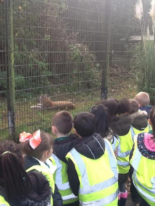 A Shy Lynx