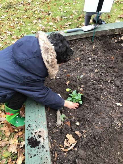 Next we plant the pansies in the hole