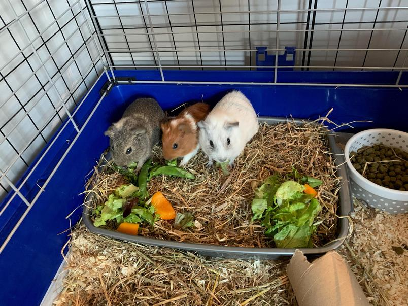 Healthy Guinea Pigs!! You are looking after them well Jensen