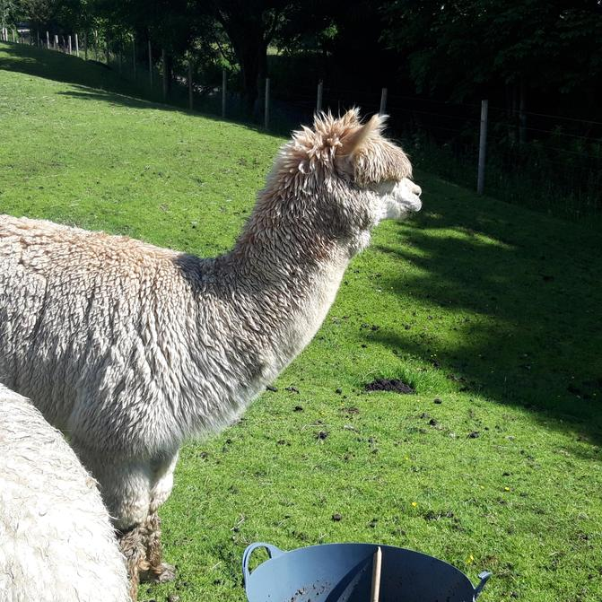 Magnificent George, King of the Alpacas