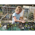 Thinning out pea seedlings