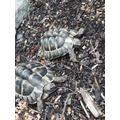 Meet Tilly and Ivan - AR's tortoises!
