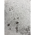 We found some animal footprints. We think this might be a fox!