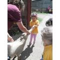 Feeding the lambs.