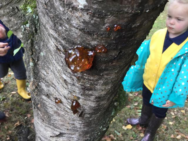 We found sticky sap coming out of a tree