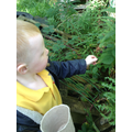 collecting blackberries at Forest School