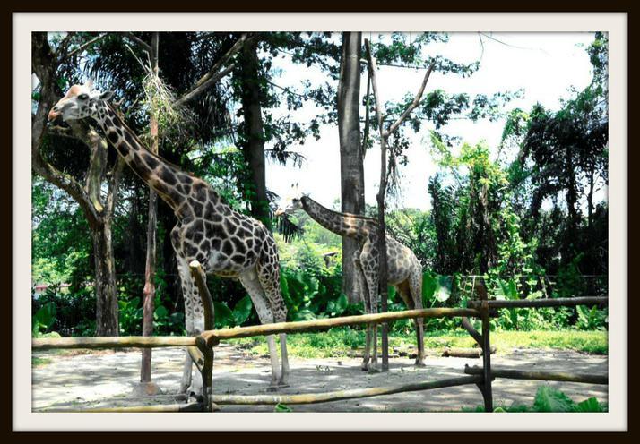 Aurora, Hedgehog: Giraffes in Singapore Zoo