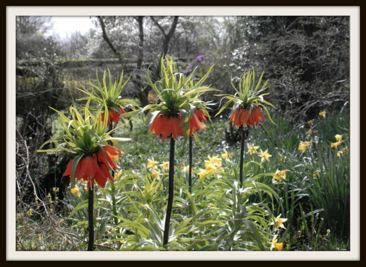 Harriet, Deer: Crown Imperials at Emmetts Garden