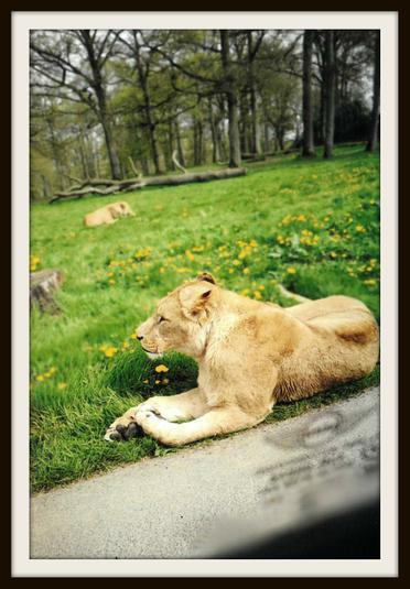 Haoming, Deer: A lioness