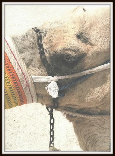 Tobias, Rabbit: Camel in Dubai