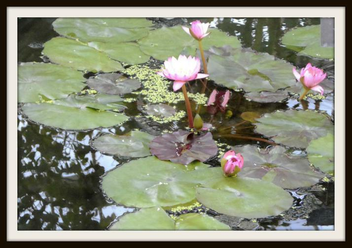 Henry, Badger: Water lillies in Kew Gardens