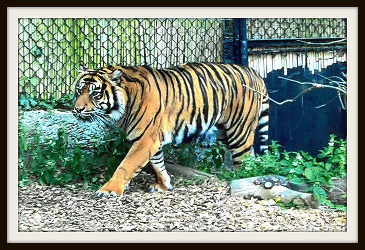 Spencer, Rabbit: Endangered sumatran tiger