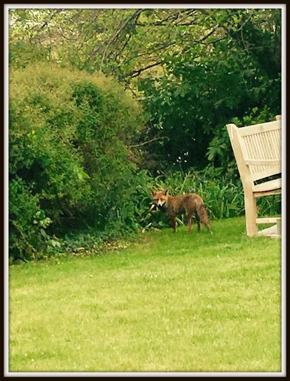 Holly, Deer: A fox!