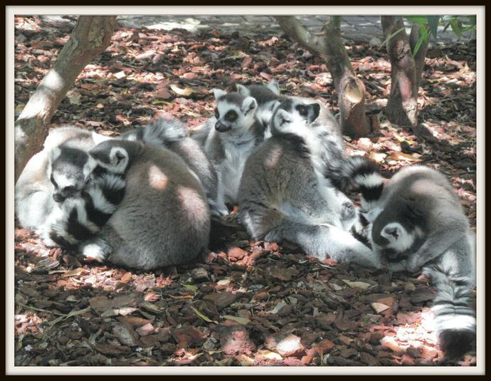 Alicia, Otter: Ringtailed lemurs
