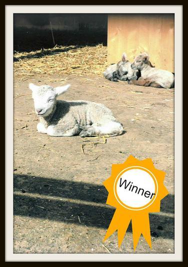 Joshua, Mouse: Lamb smiling in the sunshine!