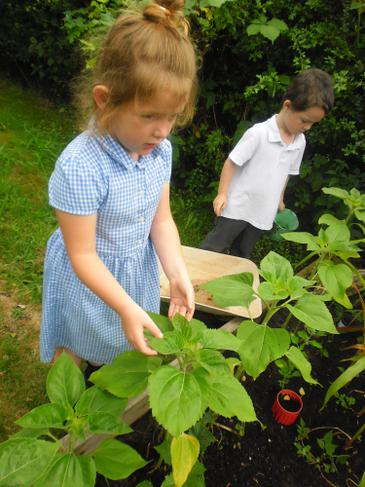 Growing Vegetables in our garden