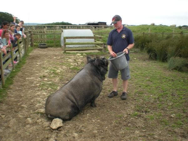 A very LARGE pig!