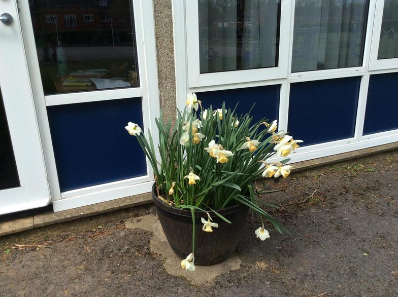 The daffodils we planted back in the Autumn are almost done now...