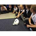 Hop exploring the classroom