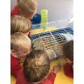 Observing Bertie the guinea pig