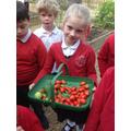 Delicious, fresh tomatoes!