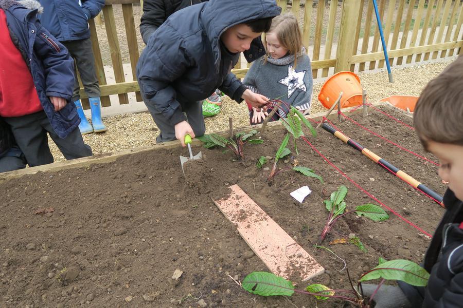 dividing and planting sorrel