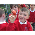 Harvesting our school tomatoes.