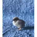 Breed - Lavender Pekin. Gender - Unknown